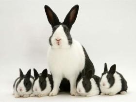 荷兰兔简介_荷兰兔价格_荷兰兔的寿命_荷兰兔的特征特点