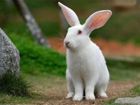 中国白兔简介_中国白兔价格_中国白兔的寿命_中国白兔的特征特点