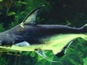 成吉思汗鱼简介_成吉思汗鱼价格_成吉思汗鱼的寿命_成吉思汗鱼的特征特点