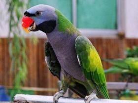 小绯胸鹦鹉简介_小绯胸鹦鹉价格_小绯胸鹦鹉的寿命_小绯胸鹦鹉的特征特点