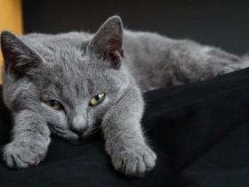 沙特尔猫简介_沙特尔猫价格_沙特尔猫的寿命_沙特尔猫的特征特点