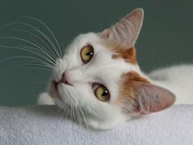 日本短尾猫简介_日本短尾猫价格_日本短尾猫的寿命_日本短尾猫的特征特点