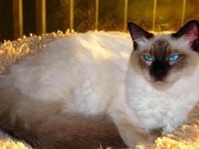 巴厘猫简介_巴厘猫价格_巴厘猫的寿命_巴厘猫的特征特点