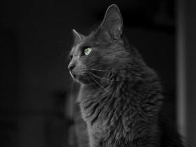 内华达猫简介_内华达猫价格_内华达猫的寿命_内华达猫的特征特点