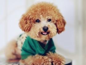 泰迪犬简介_泰迪犬价格_泰迪犬的寿命_泰迪犬的特征特点