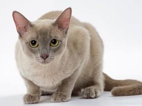 东奇尼猫简介_东奇尼猫价格_东奇尼猫的寿命_东奇尼猫的特征特点