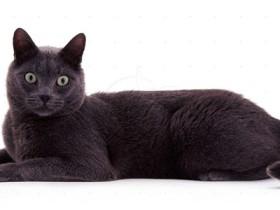 科拉特猫简介_科拉特猫价格_科拉特猫的寿命_科拉特猫的特征特点