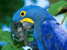 紫蓝金刚鹦鹉简介_紫蓝金刚鹦鹉价格_紫蓝金刚鹦鹉的寿命_紫蓝金刚鹦鹉的特征特点