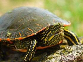 火焰龟简介_火焰龟价格_火焰龟的寿命_火焰龟的特征特点