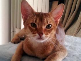阿比西尼亚猫简介_阿比西尼亚猫价格_阿比西尼亚猫的寿命_阿比西尼亚猫的特征特点
