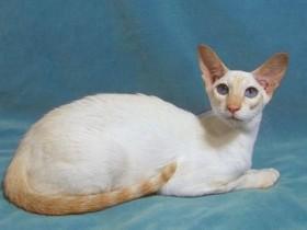 重点色短毛猫简介_重点色短毛猫价格_重点色短毛猫的寿命_重点色短毛猫的特征特点