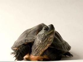 黑颈乌龟简介_黑颈乌龟价格_黑颈乌龟的寿命_黑颈乌龟的特征特点