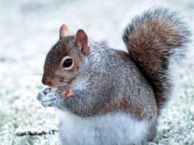 雪地松鼠简介_雪地松鼠价格_雪地松鼠的寿命_雪地松鼠的特征特点