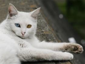 土耳其安哥拉猫简介_土耳其安哥拉猫价格