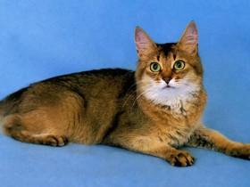 索马里猫简介_索马里猫价格_索马里猫的寿命_索马里猫的特征特点