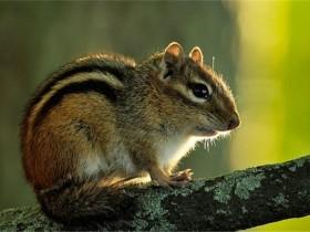 金花鼠简介_金花鼠价格_金花鼠的寿命_金花鼠的特征特点