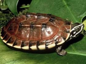 黄缘闭壳龟简介_黄缘闭壳龟价格_黄缘闭壳龟的寿命_黄缘闭壳龟的特征特点