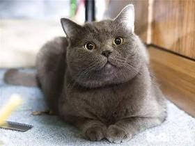 夏特尔猫简介_夏特尔猫价格_夏特尔猫的寿命_夏特尔猫的特征特点