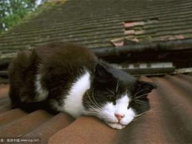 威尔士猫简介_威尔士猫价格_威尔士猫的寿命_威尔士猫的特征特点