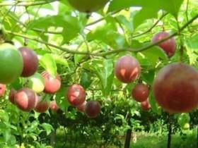 百香果一般是几月份成熟上市?上市还不是他最好吃的时候哦
