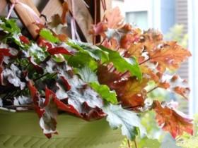 矾根盆栽如何养护_矾根的养殖方法