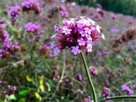 马鞭草和鼠尾草的4种区别方法
