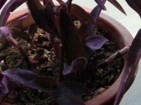紫鸭跖草的养殖方法和注意事项