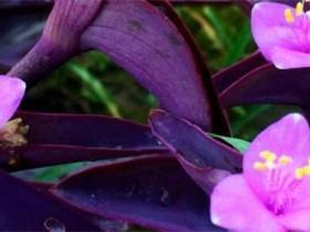 紫鸭跖草有毒吗