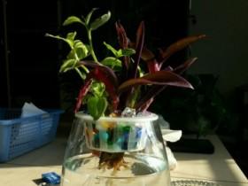 紫鸭跖草可以水培吗