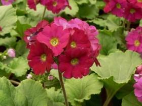 四季樱草如何养殖-四季樱草能放在阳台上栽培吗