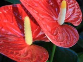 红掌的花变黑了怎么办