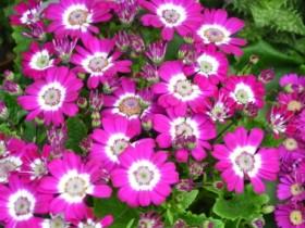 瓜叶菊的花语