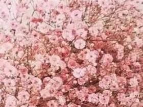 粉色满天星花语和寓意