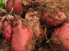 红薯是凉性还是热性