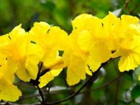黄花风铃木的养殖方法和注意事项
