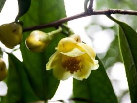 金花茶-植物界的