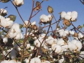 棉花的花语