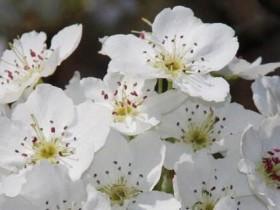 梨花的花语及象征意义
