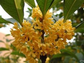 桂花树的养殖方法和注意事项