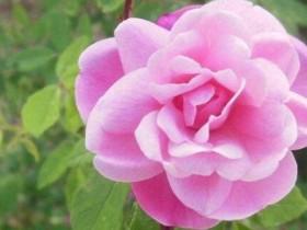 粉玫瑰花语是什么