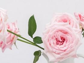 荔枝玫瑰花的花语