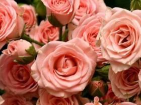 玫瑰花什么时候开放