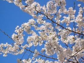 描写樱花的诗句-赞美樱花的诗句
