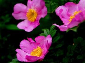 刺梨花的养殖方法及注意事项