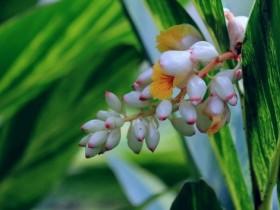 花叶艳山姜的养殖方法及注意事项
