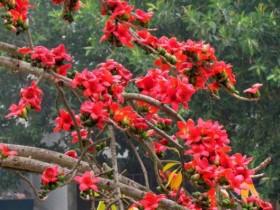 木棉花的养殖方法及注意事项