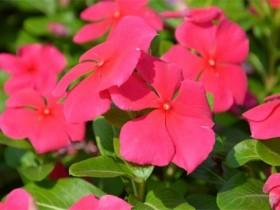 长春花什么时候开花