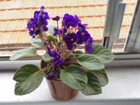 非洲紫罗兰的花语