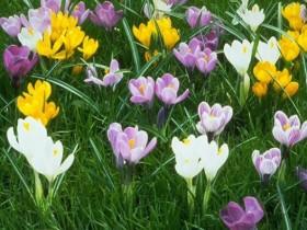 番红花如何栽培繁殖-番红花的花语
