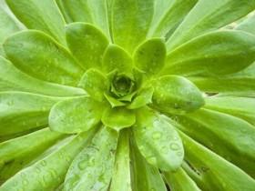 石莲花的养殖方法和注意事项